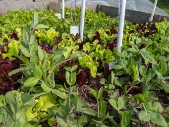 fresh organic lettuce from kitschen bakery